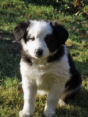 chiot-border-collie