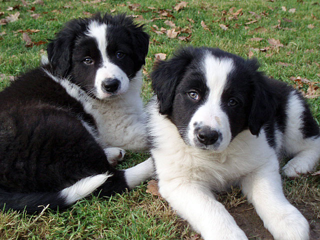 chiots-border-collie